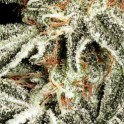 White Russian (5ks)