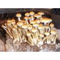 Spory Psilocybe cubensis Z-strain (10 ml)