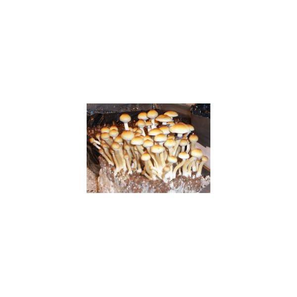 Spore Psilocybe cubensis Z-strain (10 ml)