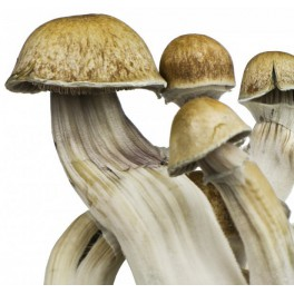Spory Psilocybe cubensis Hawaii (10 ml)